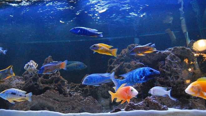 Аулонокары в аквариуме