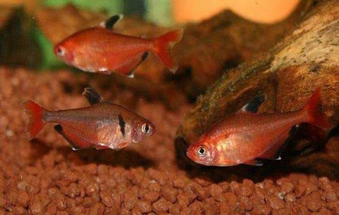 грунт в аквариуме с минорами