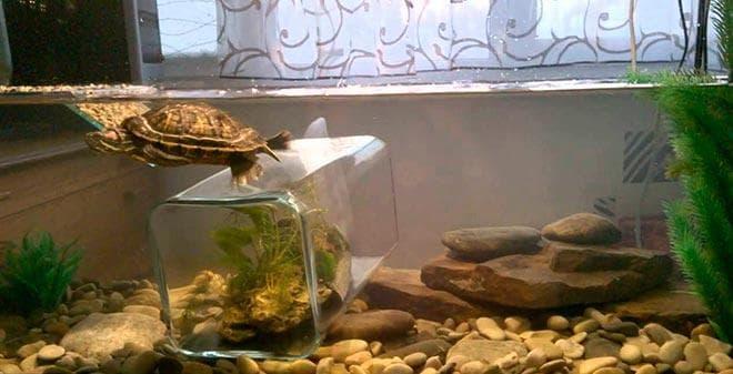 пресноводные красноухие черепахи