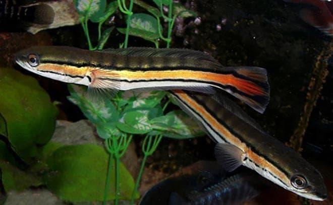Рыба змееголов красный