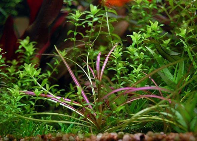 Эхинодорус нежный рубра (Echinodorus tenellus rubra)