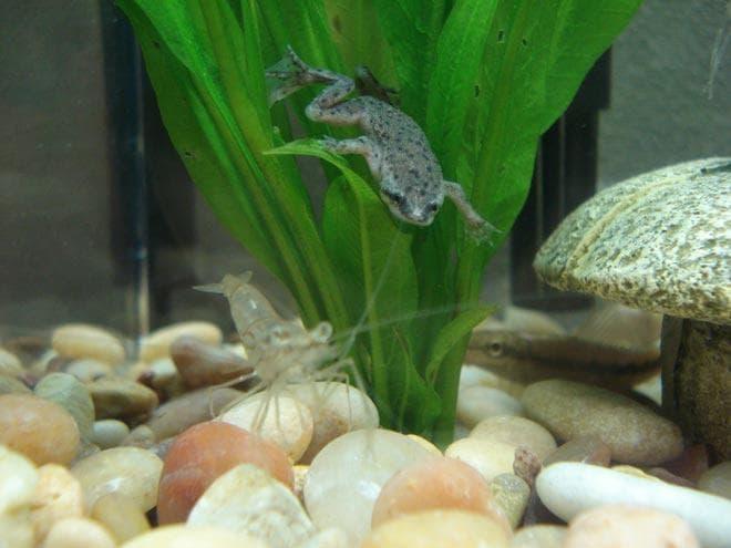 лягушки в аквариуме 20 литров