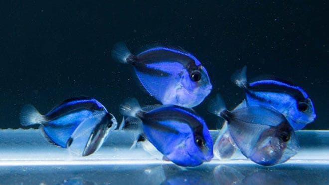 Образ жизни рыбы голубой хирург