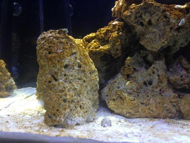 бурые водоросли на камнях в аквариуме