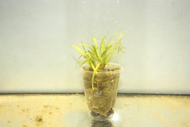 размножение Эхинодорус нежный