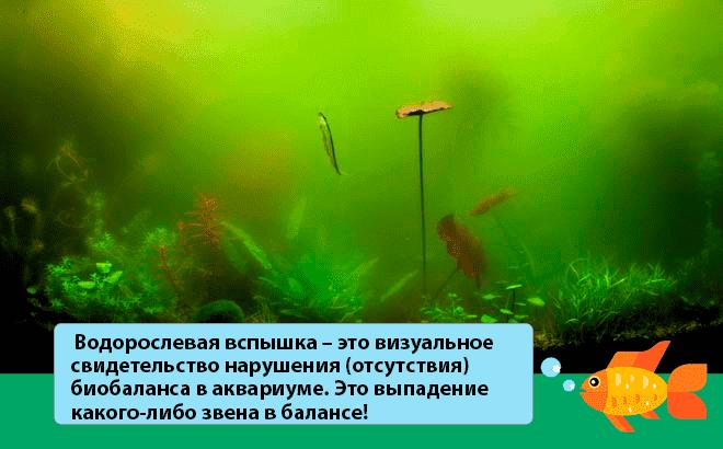 Эвгленовые водоросли