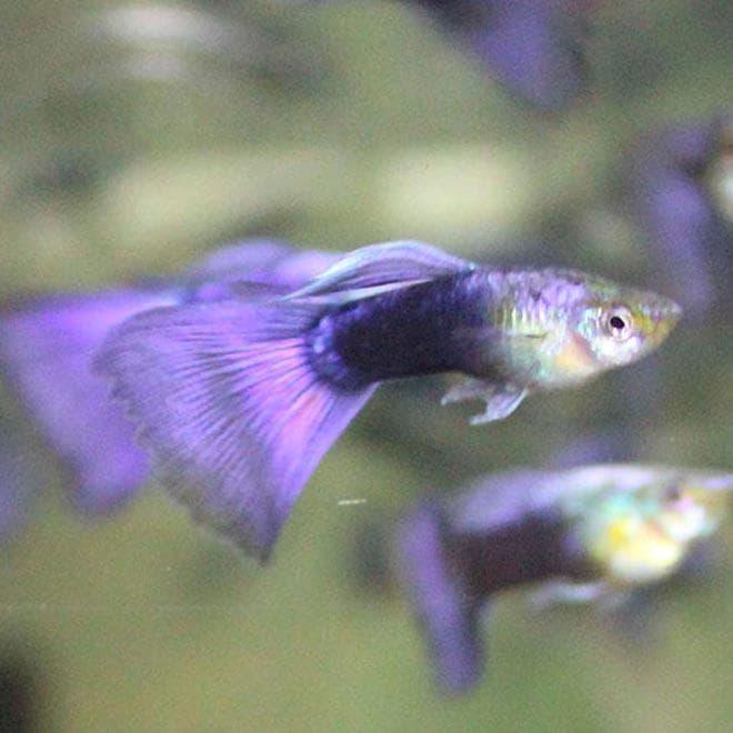 фиолетовый неон гуппи