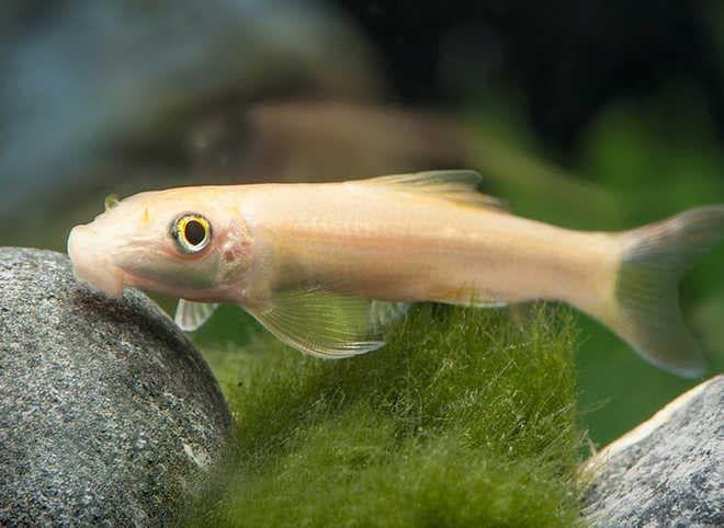 гиринохейлус альбинос