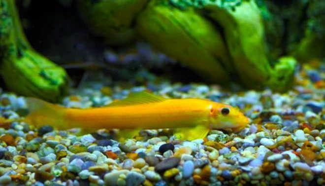 гиринохейлус желтый