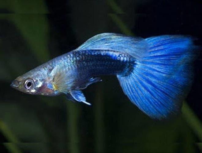 голубой неон гуппи