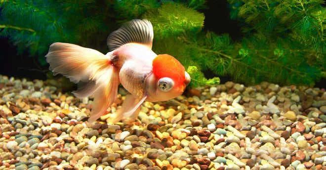 красная шапочка в аквариуме
