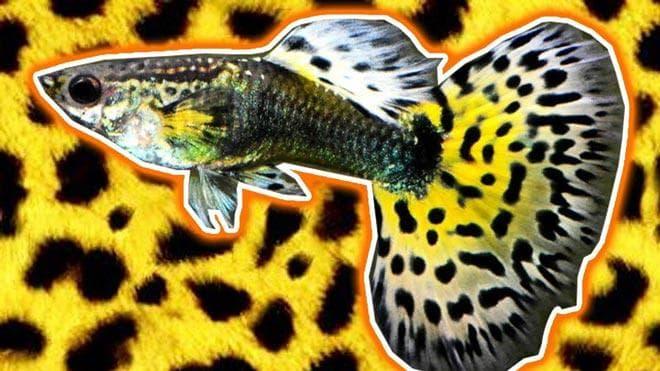 леопардовые гуппи