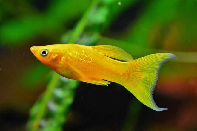 внешний вид рыбки